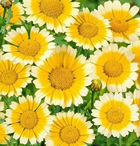 Garland Daisy Seeds 200 Seeds