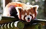 5D Diamond Painting Set DIY Full Diamond Red Panda Punto de cruz Bordado Arte Pared Decoración del hogar Regalo Artesanías 40X50cm