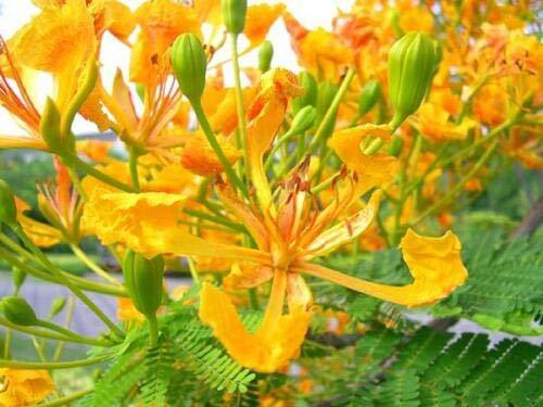 thronesfarm - DELONIX REGIA Yellow FLAMBOYAN Royal Poinciana Rare Bonsai Tree 20 CT - Shipping Directly from US