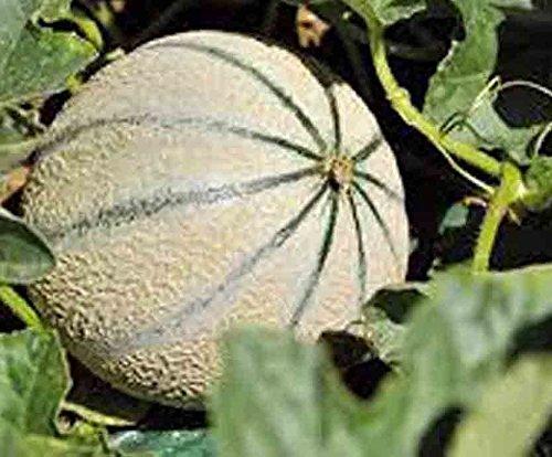 23 Seeds - CHARENTAIS Melon - Cucumis...