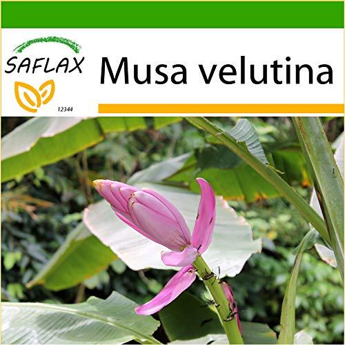 SAFLAX - Kenia-Banane - 8 Samen - Mit keimfreiem Anzuchtsubstrat - Musa velutina