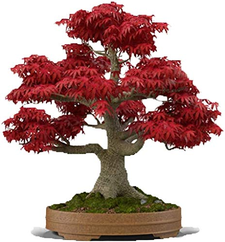 Bonsai Tree Seeds, Japanese Red Maple | 20+ Seeds | Highly Prized for Bonsai, Japanese Maple Tree Seeds (ACER palmatum) 20+Seeds