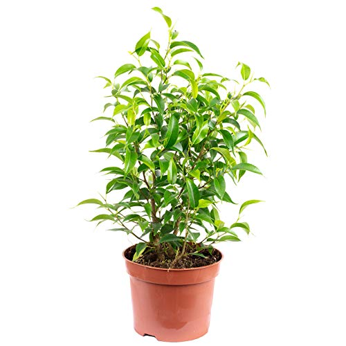Birkenfeige 'Natasja' verzweigt - Ficus benjamini - Höhe ca. 30 cm, Topf-Ø 12 cm