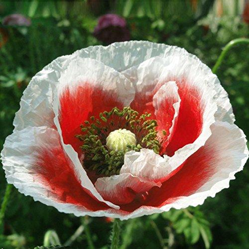 200PCS Platycodon grandiflorus Seeds Bellflower- Hexagon Dutch Flower graines jardin bricolage jardin pots bonsaï planteurs