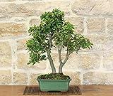 bonsai di quercia - leccio (41)