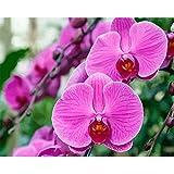 nobrand Cuadros para Pintar por Numeros Flor rosa bricolaje adulto digital pintura al óleo lienzo set regalo de vacaciones creación de arte hecho a mano-Sin Marco 60X75Cm