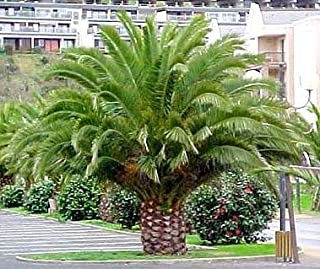 Seed and Things Canary Island Date Palm 15 Seeds Phoenix