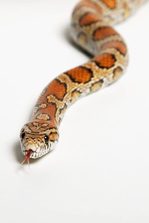 Amazon Com Posterazzi Corn Snake Pantherophis Guttatus Spruce Grove Alberta Canada Poster Print 24 X 38 Posters Prints