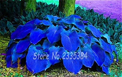 16: 50Pcs / Rare Pack Hosta Graines Vivaces Lis Fleur Blanche Dentelle Bricolage Home Garden Ground Cover Plant