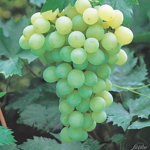 Weinrebe / Weintraube 'Lakemont®' 40-60 cm im 1,3 Liter Topf