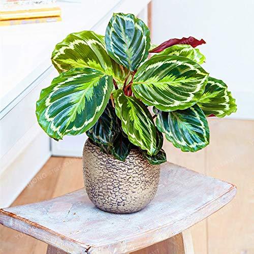 Bloom Green Co. Calathea Bonsai Lufterfrischer Pflanzen seltene schöne Blumen Bonsai Büro-Schreibtisch-Bonsai für Blumen-Garten-Verzierungen 50 PCS: 2