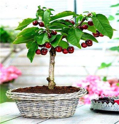 10 pcs mini cerise graines, mixte miniature cerise, rares graines de fruits de légumes Heirloom bio, Jardin Miniature, des plantes pour le jardin 12