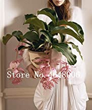 50Pcs Medinilla Magnifica Seeds Very Beautiful with Pink Flower Seeds for Home Garden Flower