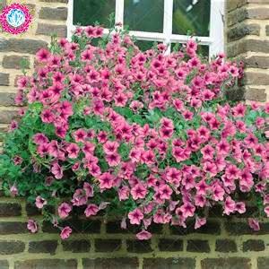100 pcs/sac à double pétales graines de pétunia graines de fleurs bonsaï fleurs court jardin hauteur des graines de pot de plante d'intérieur ou ourdoor 8