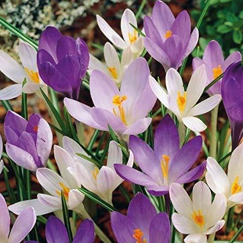 Soteer Garten - 50 Stück Großblumige Safrankrokus Samen Herbstkrokus herbstblühend Elfenkrokus Gartenkrokus Saatgut für wundervolle Blütenteppiche