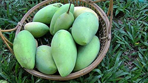 Lĩvẹ Plánt - PIM Sen Mun Mango Tree - Thai Favorite Mango by TRUPADU STORE