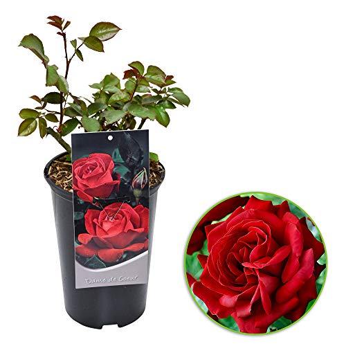 Rosa grandiflora'Dame de Coeur'   Large-Flowered Rose   Red Rose Scented   Height 40 cm   Ø-17 cm