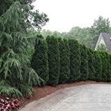 American Arborvitae White Cedar Seeds (Thuja occidentalis) 200+Seeds