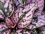 NOUVEAU! 25+ Hypoestes POIS ROSE DES PLANTES SPLASH FLEURS DE GRAINS/OMBRE AIMER