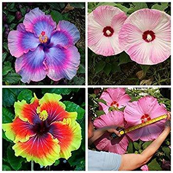 Vistaric 100pcs couleurs de mélange rares graines d'hibiscus géantes plante en pot fleurs vivaces rose mauve illuminer votre jardin