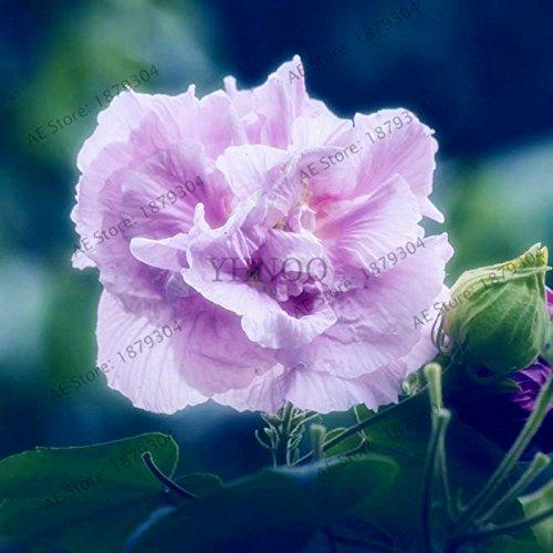 50pcs / sac Hibiscus graines de plantes vivaces utilisation de graines de fleurs Maison et jardin bonsaïs mélangé Couleurs 2