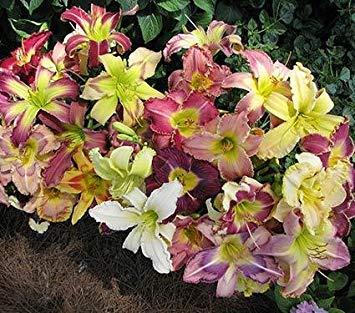 Indoor Topf Alpenveilchen Blumensamen gehobene Blume Hase Ohr Samen Aussaat Jahreszeiten Hof Balkon einfache Art