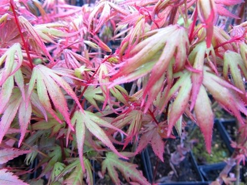 Kuro HIME Japanese Maple - Black Princess Maple - A Tough Dwarf Maple with Ever Changing Leaf Color- 3 - Year Live Plant