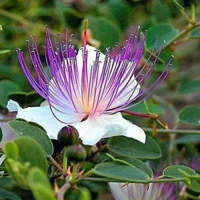 Las semillas de la alcaparra Bush (Capparis spinosa) + 50 Semillas