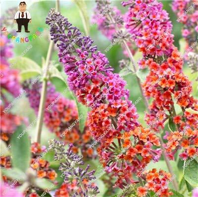 Sumpf frisch 50pcs Buddleia Blumensamen zum Pflanzen Orange Pink