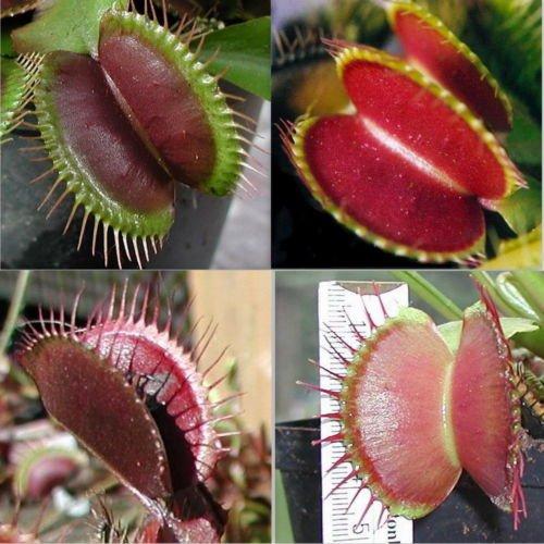 Venus Fly Piège Seeds, Dionaea, jardin Bonsai Plante carnivore plante décoration 30 pcs RG58