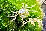 3 microcangrejos – Limnopilos nayanetri – Micro cangrejo