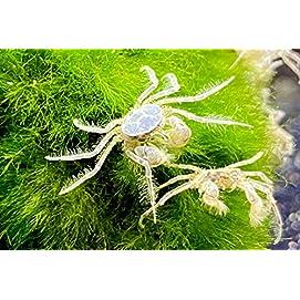 Microkrabben - Limnopilos nayanetri 3 Stk
