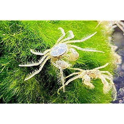 Microkrabben – Limnopilos nayanetri 3 Stk