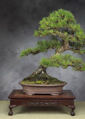 Tropica - Bonsai - Japanische Schwarzkiefer (Pinus thunbergii) - 30 Samen