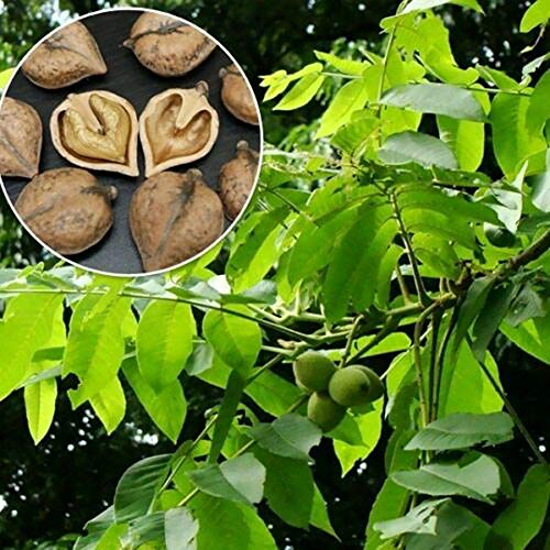 Feli546Bruce Heartnut Seeds, 5Pcs Heartnut Seeds Walnussbaum Garden Park Farm Easy Grow Plant Decor Herznusssamen