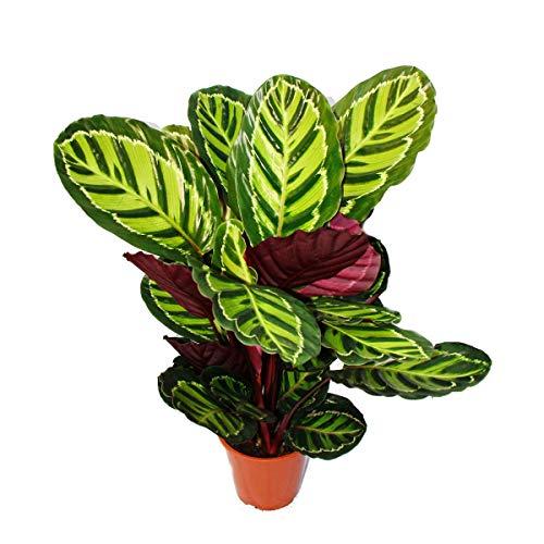 Exotenherz - XXL-Schattenpflanze mit ausgefallenem Blattmuster - Calathea roseapicta - 19cm Topf - ca. 60-80cm hoch