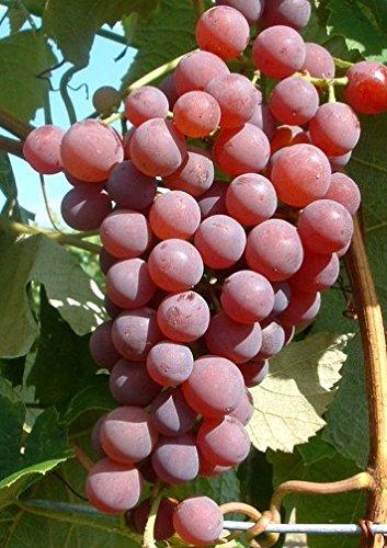 Vanessa, pilzfeste Weinrebe, rote, kernlose Beeren, im Topf