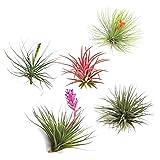 PLANT IN A BOX - Set de 5 Tillandsias- Plantes aériennes- H5-10cm