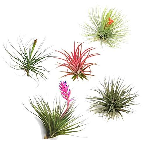 Plant in a Box Plantas de aire Tillandsia de 5 piezas – Plantas de interior de Tillandsia – Altura 5 – 10 cm