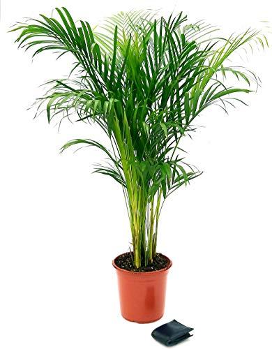 ARECA - Palma de areca de 150 cm de altura, planta real