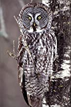Media Storehouse 12x8 Print of Great Gray Owl, Pine City MN Perched on Aspen (5781436)