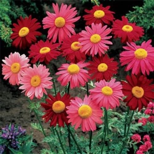 500 Graines de chrysanthème Seeds Coccineum Robinson Mix (vivaces)