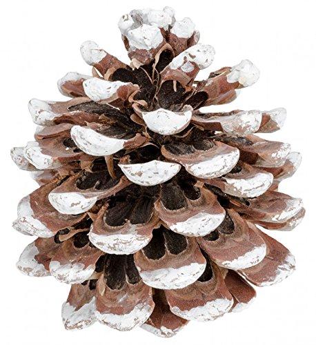 NaDeco Pinienzapfen 8-12cm weißer Spitze 8 Stück Pinus Pinea Pinien Zapfen Tannenzapfen Dekozapfen
