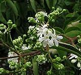 Sieben Söhne des Himmels Strauch 60-80cm - Heptacodium miconioides