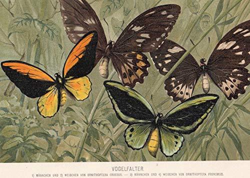 Tiere - Vogelfalter. 4 Abbildungen auf 1 Blatt. [Grafik]