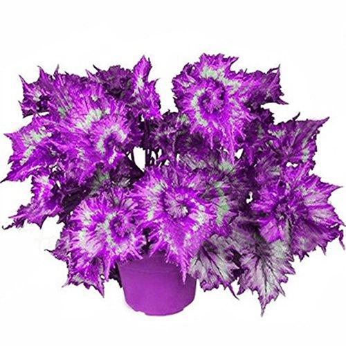Pinkdose purple: 50Pcs Begonia Seeds, Coleus Begonia Flower Seeds Bonsai Plants Balcony Home Garden Decor (Blue)(Double Color)(Purple)