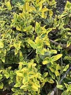 1 Beautiful Gold Splash Wintercreeper (Euonymus) Bare Root - Live Plant