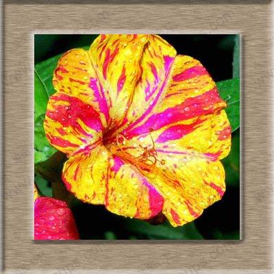 100% Mirabilis réel de semences d'une piscine intérieure en pot bonsaï jasmin fleur graines facile à cultiver 30 saisons particules / sac