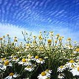 Fnho Semillas de Plantas Verdes,Plantas Coloridas Semillas,Flor de manzanilla, Flor de Hierba fácil de cultivar-200grain