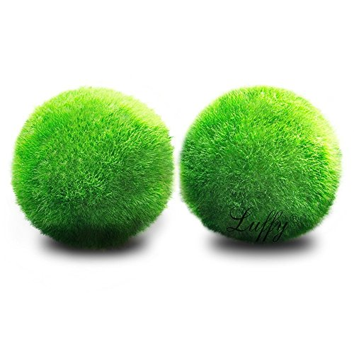 Luffy Giant Marimo Moss Balls, 1.5 Inches, Aesthetically Beautiful and Create Real Ecosystem, Eco-Friendly, Low Maintenance and Curbs Dirt Growth, Loved by Shrimps and Snails, 2 Pack